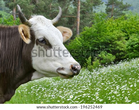 Dairy cattle on green grass in the farm