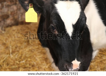Dairy cow. Cows on farm.