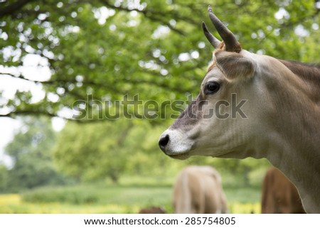 Dairy cow in field in a field of buttecups - stock photo