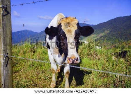 Dairy cow in paddock eating fresh grass under the blue sky, New Zealand - stock photo