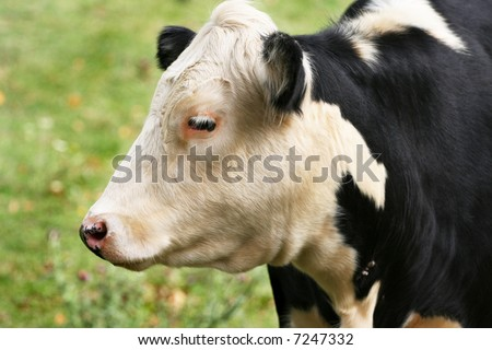 cow profile | Cow, spotted, profile, head | Cow photos ... |Dairy Cow Head Profile