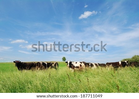 Dairy cows grazing in  meadow with lonely tree on background  - stock photo