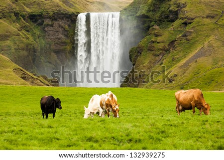 dairy cows grazing on green grass near the waterfall Iceland - stock photo