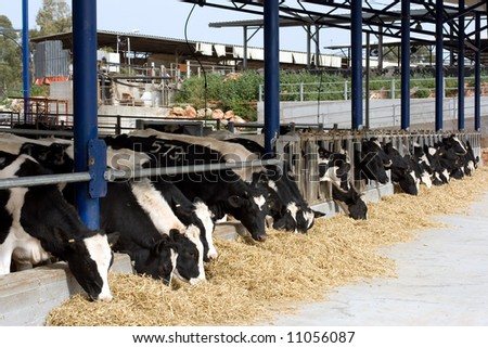 Dairy cows in a farm - stock photo