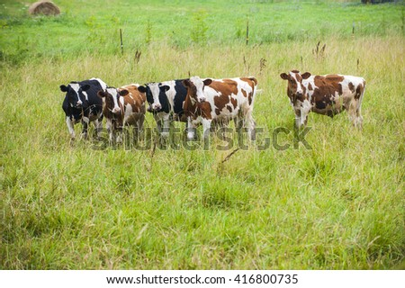 Dairy cows in beautiful green grass pasture farm scene - stock photo