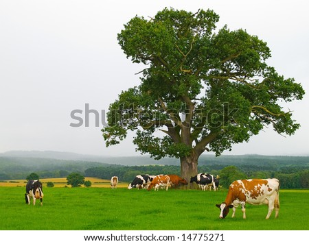 Dairy cows in early morning mist - stock photo