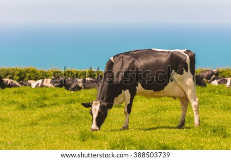 Dairy cows in lush pasture in Cornwall, UK with blue ocean in background