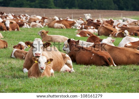 Dairy cows in pasture - stock photo