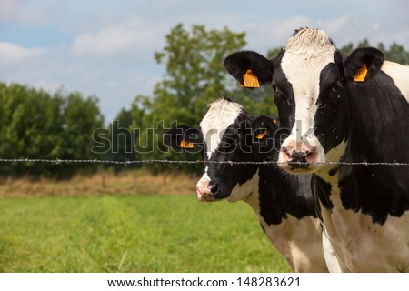 Dairy cows may be found either in herds on dairy farms where dairy farmers own, manage, care for, and collect milk from them, or on commercial farms. - stock photo