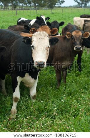 Dairy cows on a dairy farm in Victoria, Australia - stock photo