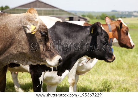 Dairy cows on pasture - stock photo