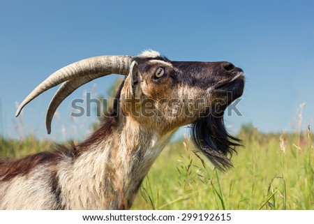 Dairy Goat with big Horns on Green Meadow - stock photo