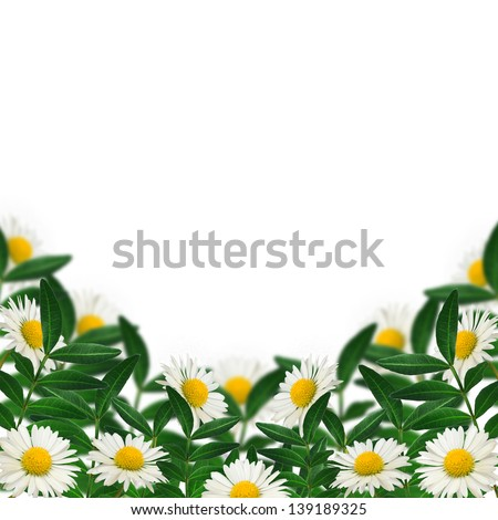 Daisies and green leaves on the white background - stock photo