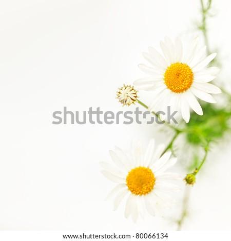Daisies Border - stock photo