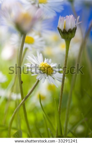 Daisies growing in grass close up with blurred elements and blue sky - stock photo