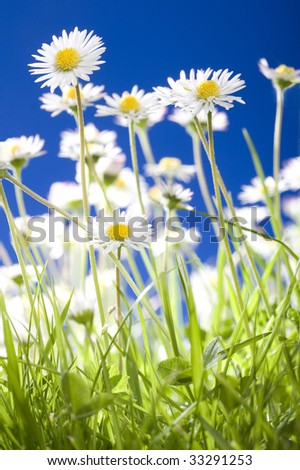 Daisies growing in grass close up with blurred elements and blue sky. - stock photo