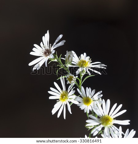 Daisies in a branch, dark background, square image - stock photo