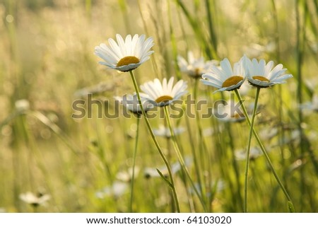Daisies in a meadow backlit by the morning sun. - stock photo