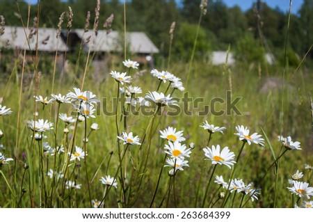 Daisies in a meadow. farm, village - stock photo