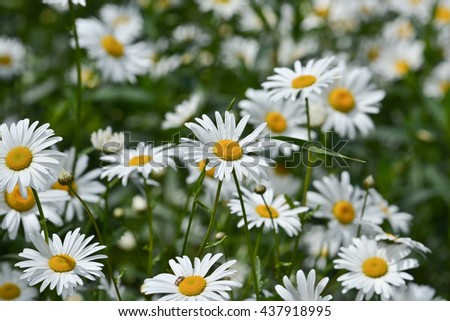 Daisies in a summer meadow. Blooming daisies against green of summer. - stock photo