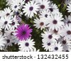 Daisies in the meadow - stock photo