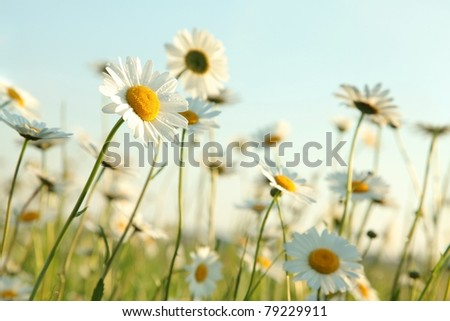 Daisies in the spring meadow against the blue sky. - stock photo