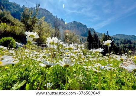 Daisies in the sun - stock photo