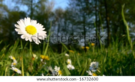 Daisies meadow - stock photo