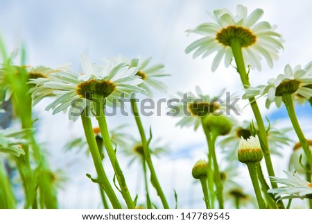 Daisies on a field, summer wildflowers - stock photo