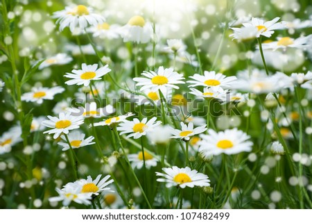 Daisies on meadow with beautiful light effect - stock photo