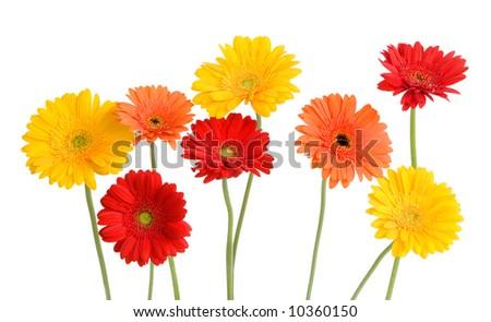 daisies - orange, yellow, red - isolated on white - stock photo
