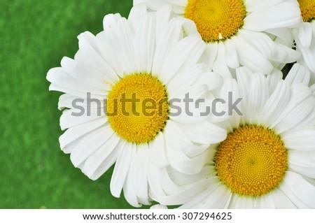 daisies summer white flower - stock photo