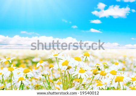 Daisies under hot sun
