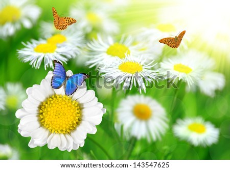 Daisies with butterflies on meadow - stock photo