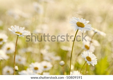 Daisies with morning dew on a meadow in the rays of the rising sun.