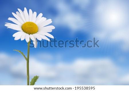 Daisy against blue sky and bright sun - stock photo