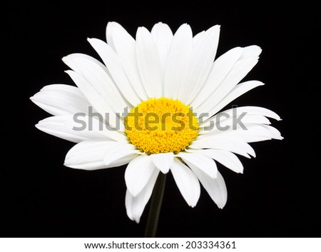 Daisy. Beautiful camomile. White  flower on black background. Nice wallpaper, greeting card,  interior design image. - stock photo
