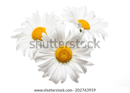 Daisy, camomile on  white  background. White flowers chamomile, gerbera closeup,  isolated.  Nice image, wallpaper, elegant greeting card, texture, interior design picture  - stock photo