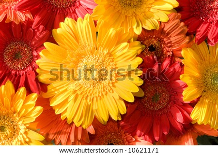 daisy carpet - red, yellow, orange gerbers in morning light
