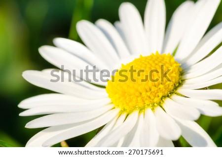 daisy close-up - stock photo
