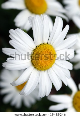 Daisy close-up vertical - stock photo