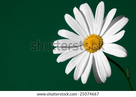 daisy closeup on green background - stock photo