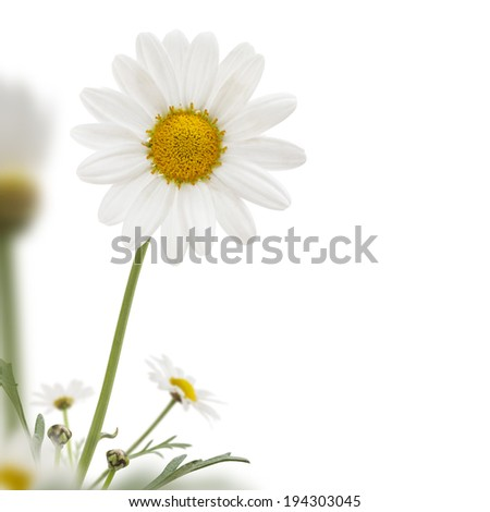 Daisy corner isolated on white