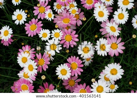 Daisy. Daisy flower background. Daisy - flower of Asteraceae family. White daisy and pink daisy flower. Daisy white and daisy pink. Daisy flowers in garden. Daisy flowers background. Daisy.   - stock photo