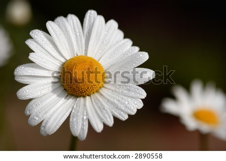 Daisy Dream. Shallow DOF Close-up of a single dew covered Daisy. - stock photo