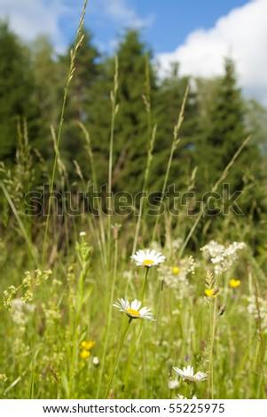daisy field against sunny sky - stock photo