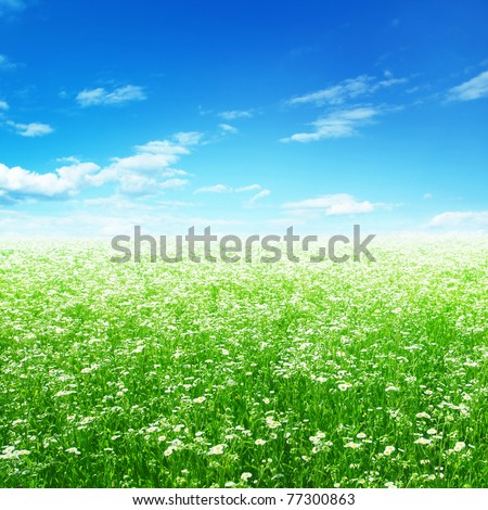 Daisy field and blue sky. - stock photo