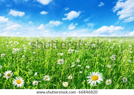 Daisy field and bright blue sky. - stock photo