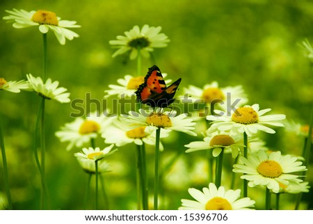 daisy field and butterfly - stock photo