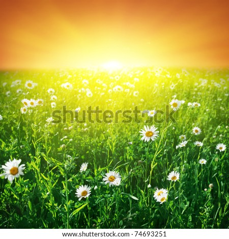 Daisy field and sunset sky. - stock photo
